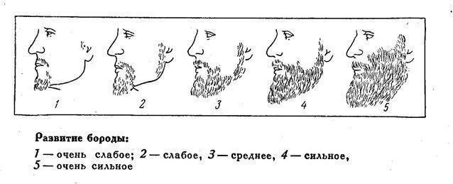 Степень развития бороды